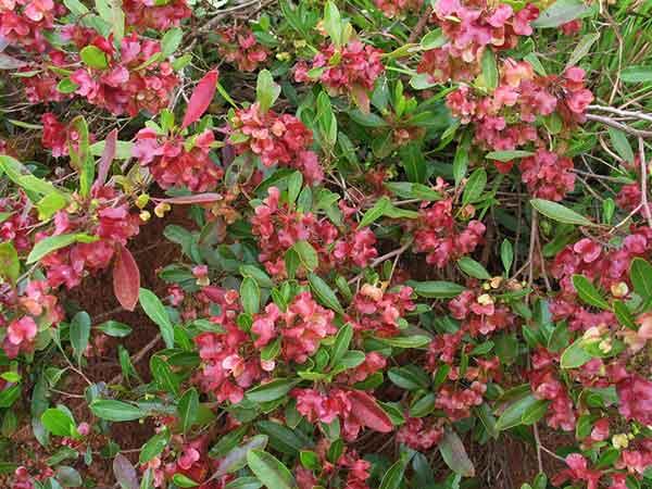Dodonaea viscosa Sticky Hops Bush Medicine Bushtucker Plant Mullumbimby District Neighbourhood Center