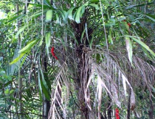 Walking Stick Palm