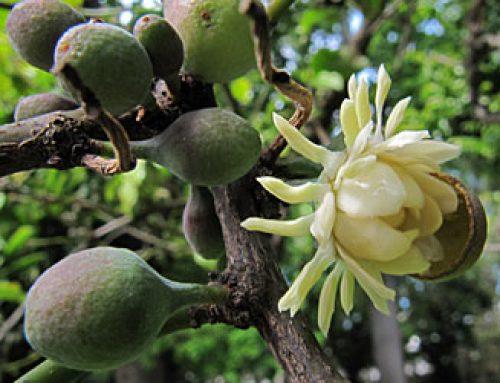 Native Guava – Copper Laurel – Bolwarra