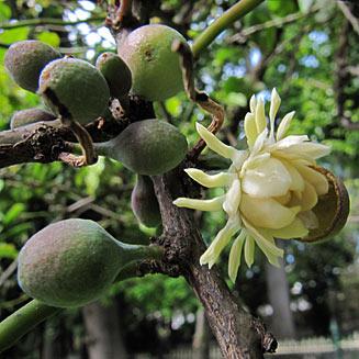 Native Guava Bolwarra Bushtucker Plant Mullumbimby District Neighbourhood Center